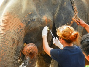 Duanphen has her abscess packed while a mahout gently holds her ear